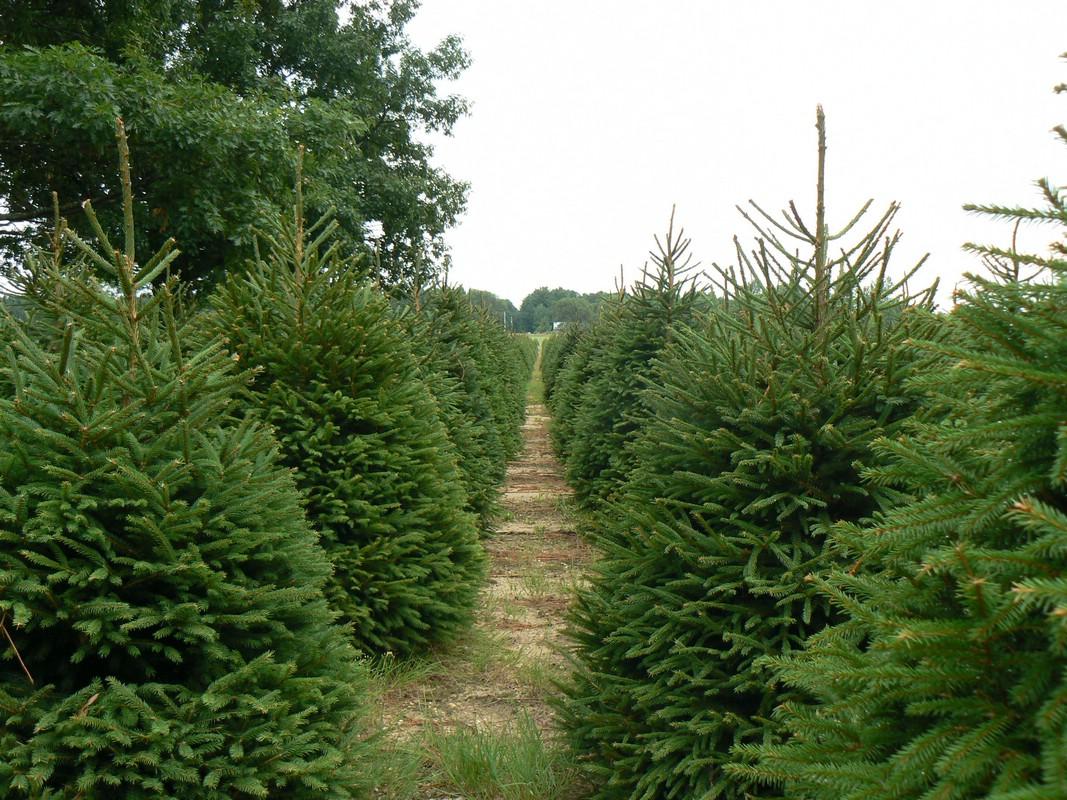 Arkansas Christmas Tree Farms